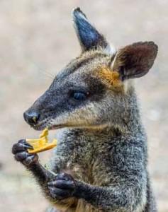 kangaroo56585852