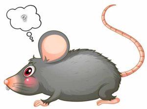 confused rat